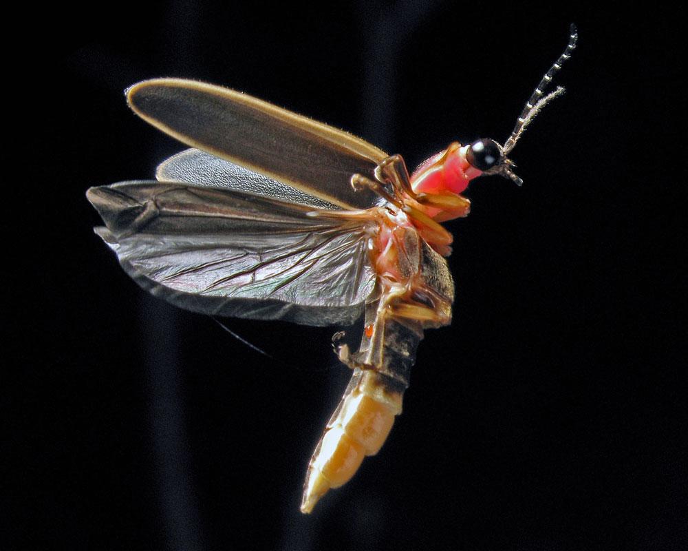 Firefly - Photinus Pyralis - 8x10 h
